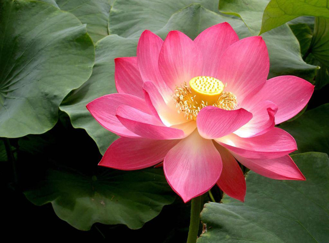 The lotus flower incense travel the leaves are sometimes and its flowers always raised above the water surface the beautiful and fragrant lotus flower opens in the morning mightylinksfo